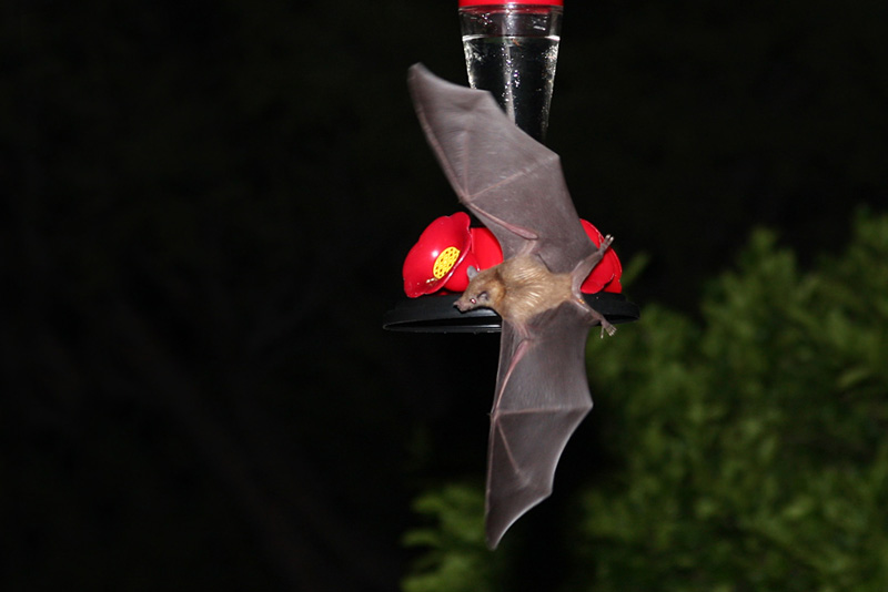 IMG_0248b Lesser Long-nosed Bat.jpg