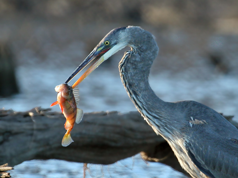 IMG_2859 Great Blue Heron.jpg