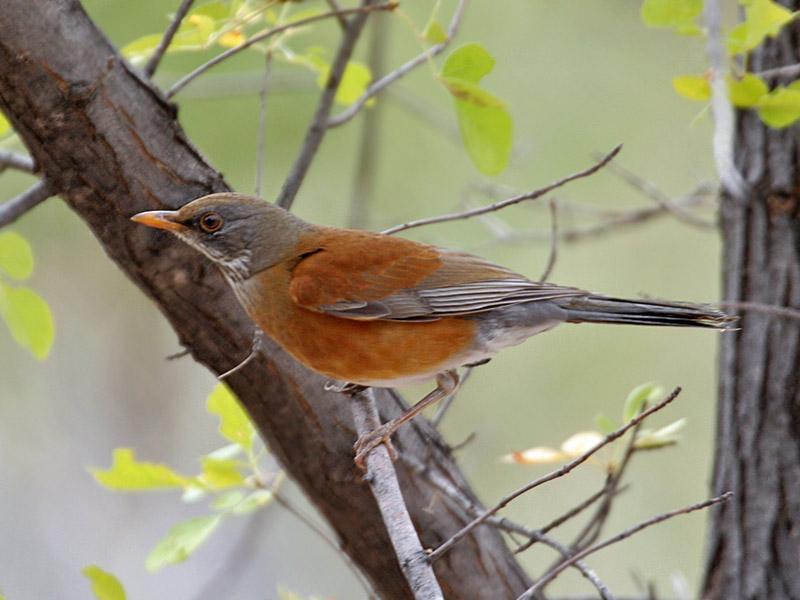 IMG_4244 Rufous-backed Robin.jpg