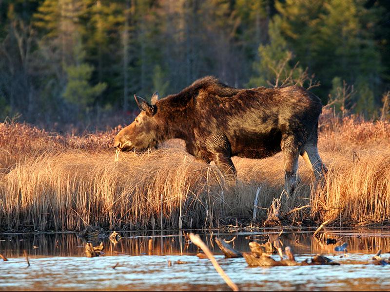 IMG_1800 Moose.jpg
