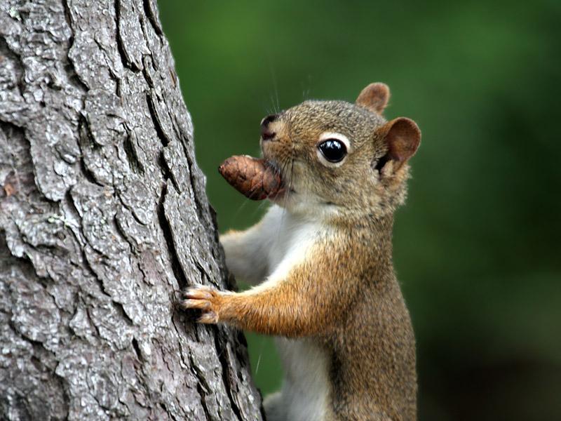 IMG_6276 Red Squirrel.jpg