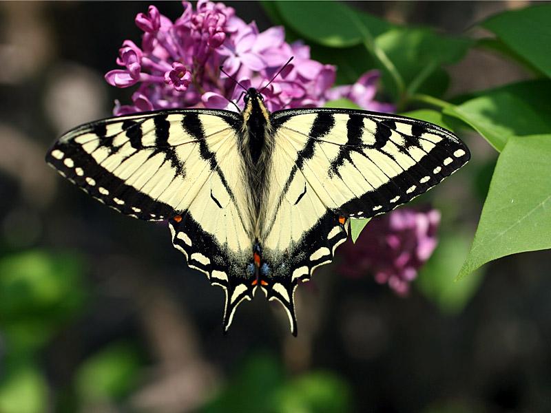 IMG_3980 Eastern Tiger Swallowtail.jpg