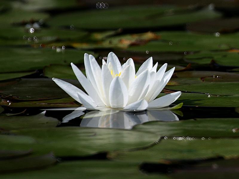 IMG_2488 Water Lily.jpg