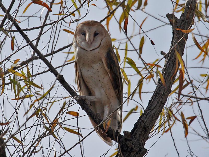 IMG_5540 Barn Owl.jpg