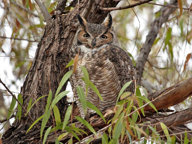 IMG_5649 Great-horned Owl.jpg