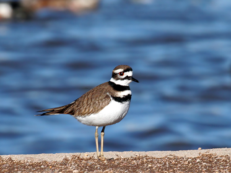 IMG_5217 Killdeer.jpg