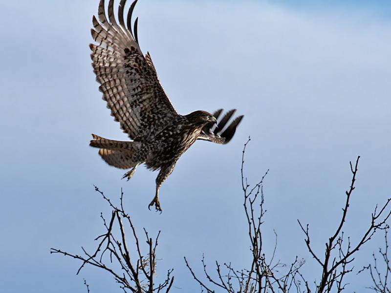 IMG_5787 Red-tailed Hawk.jpg