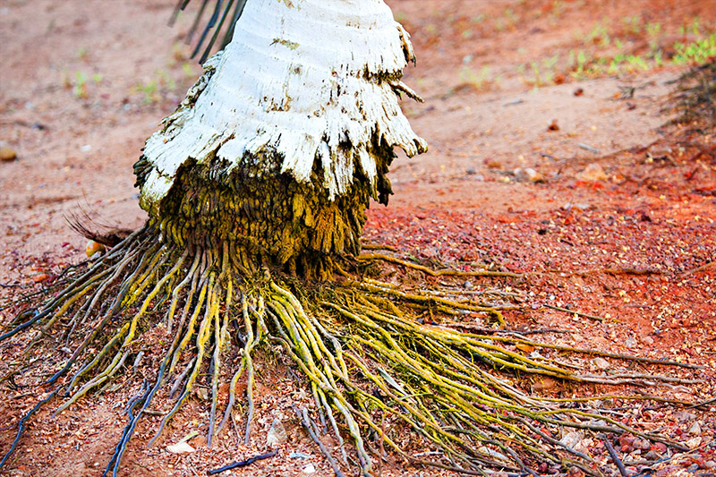 Coconut Palm Root System