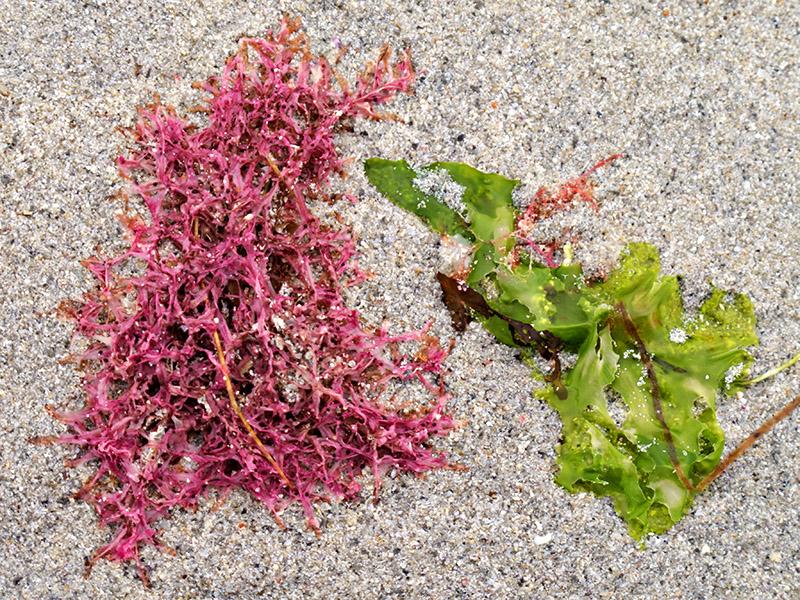 Carrigeen Moss & Sea-Lettuce