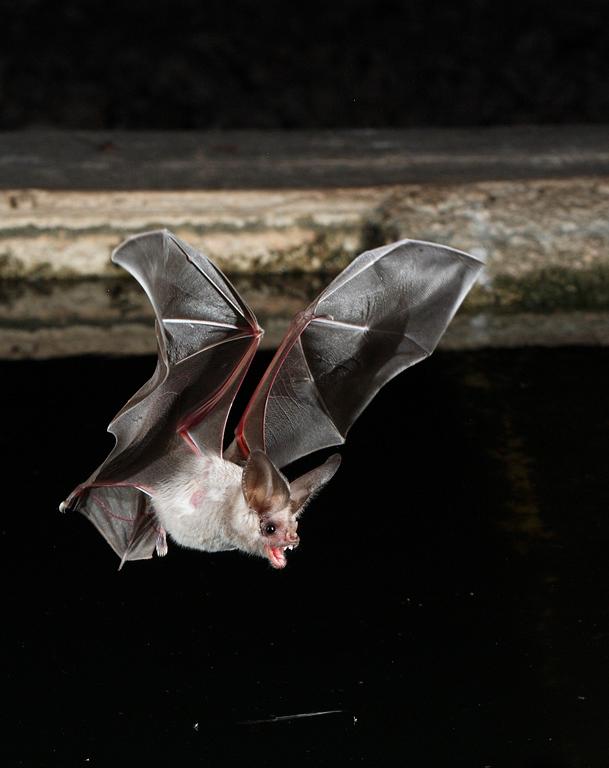 California Leaf-nosed Bat 1.jpg