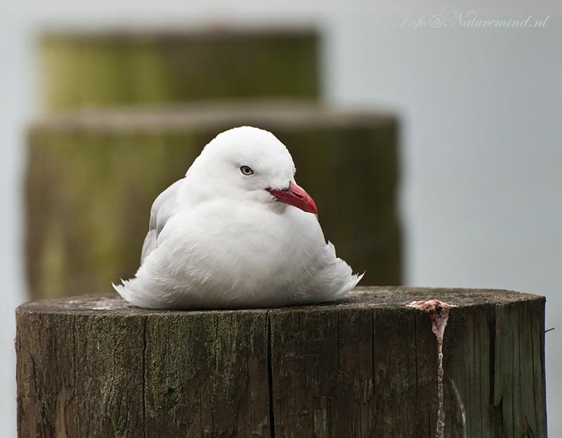 Red-billed Gull PSLR-4724.jpg