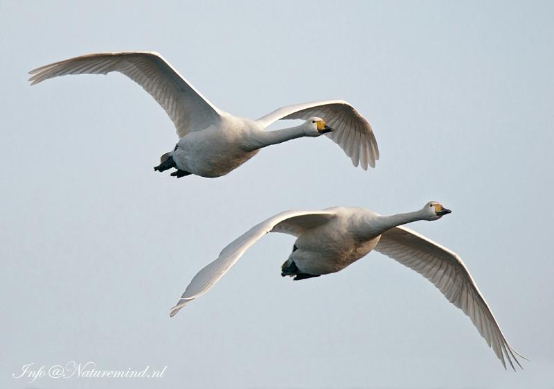Wilde zwaan - Whooper Swan KPSLR-0616.jpg