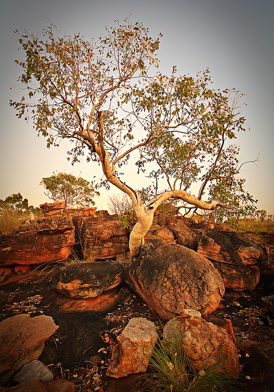 Gum Tree at Dawn
