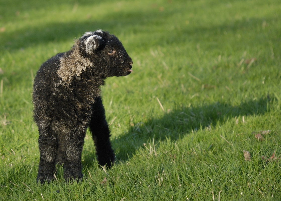 another Herdwick youngsterpg