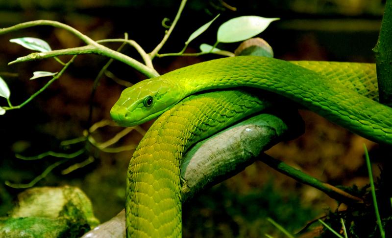 grüne Mamba 23.jpg