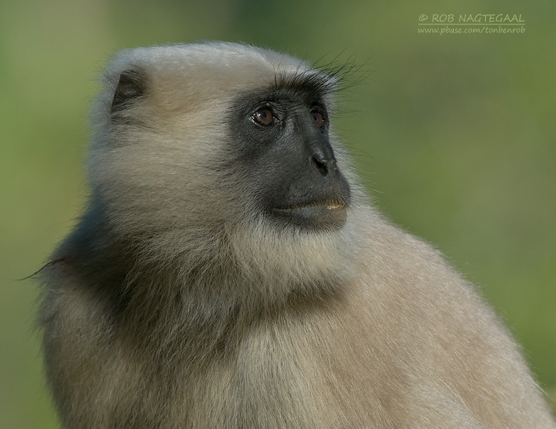 Hanumanlangoer - Black-faced Langur - Semnopithecus entellus