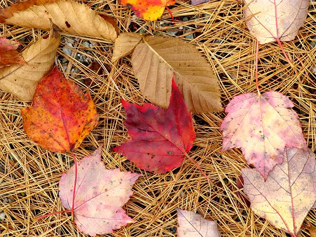 Fallen Leaves on Pine Needles #1
