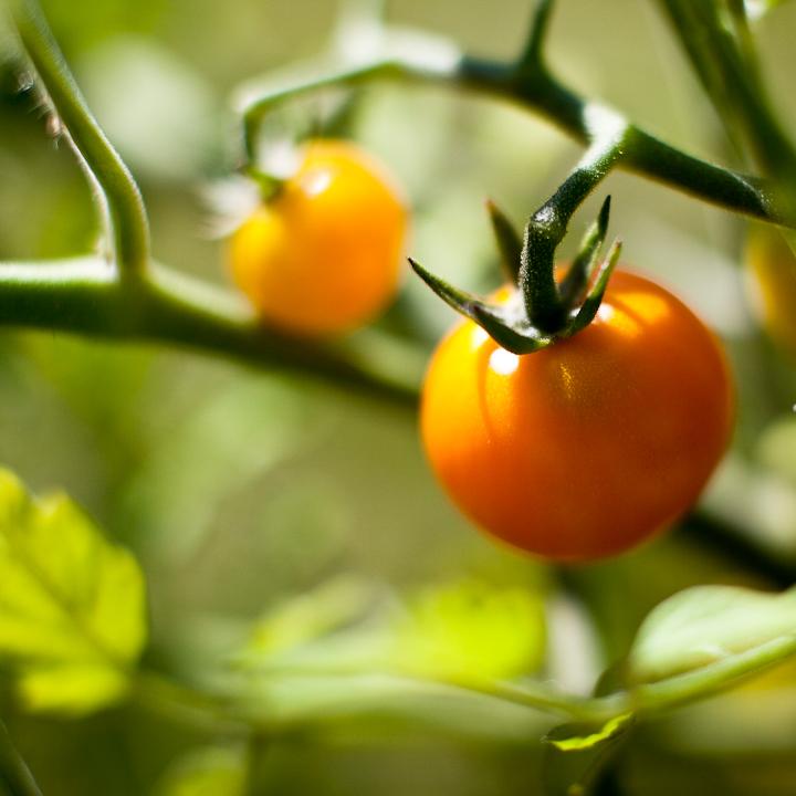Cherry Tomatoes #1