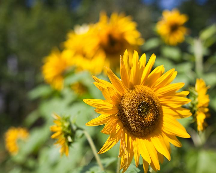 Sunflower 2009 #8