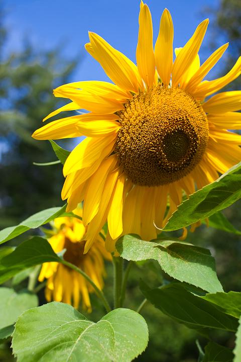 Sunflower 2009 #12