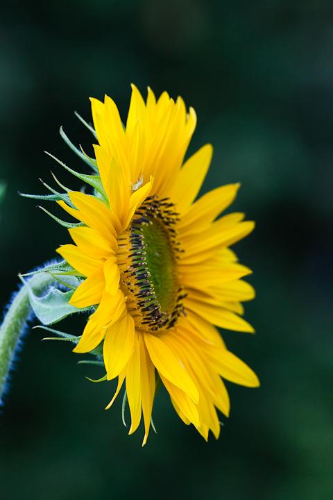 Sunflower 2009 #7