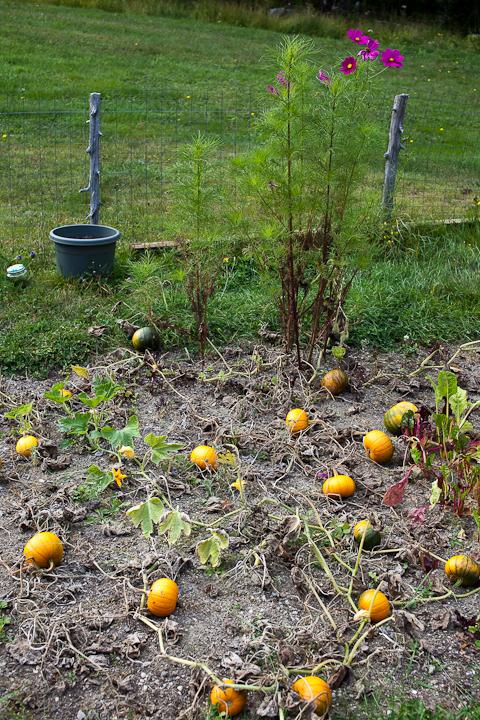 Pumpkins and Cosmos