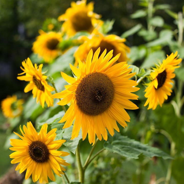 Sunflower 2009 #17