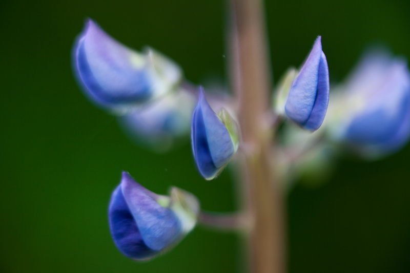 2010 Lupines #2