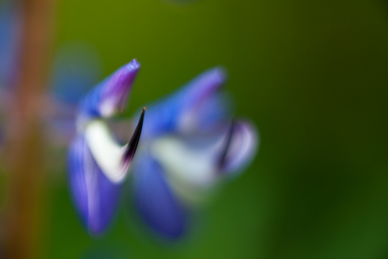 2010 Lupines #4