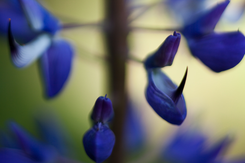 2010 Lupines #5