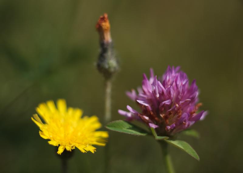 Yellow Hawkweed and Clover #1
