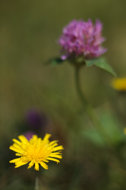 Yellow Hawkweed and Clover #2