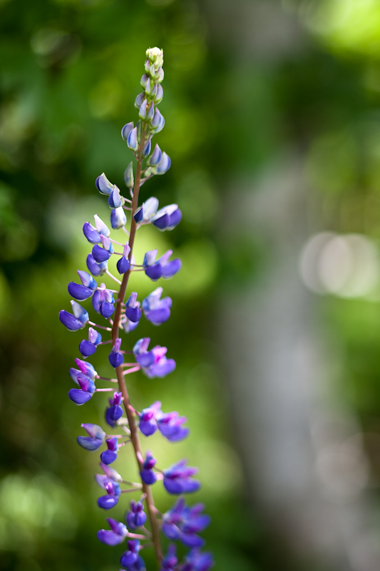 2010 Lupines #11