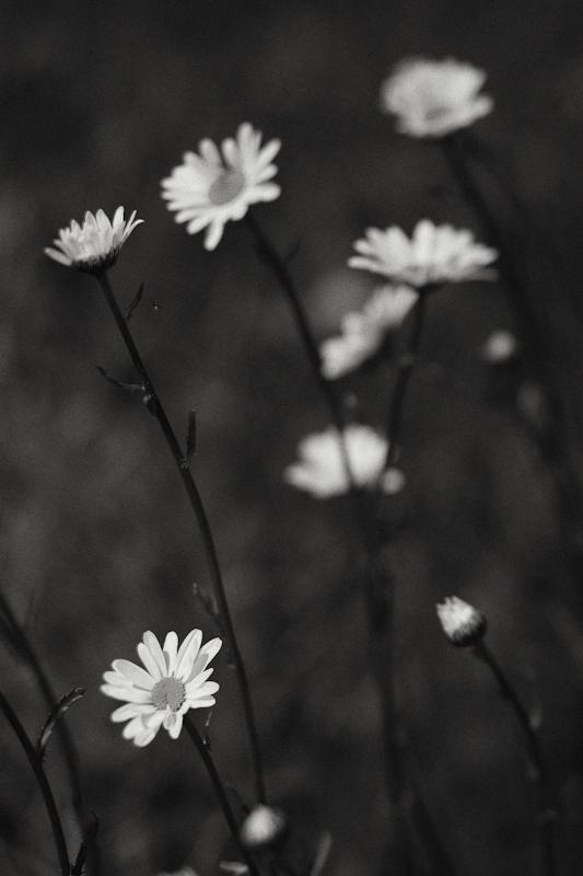 2010 Daisies #7 Monochrome