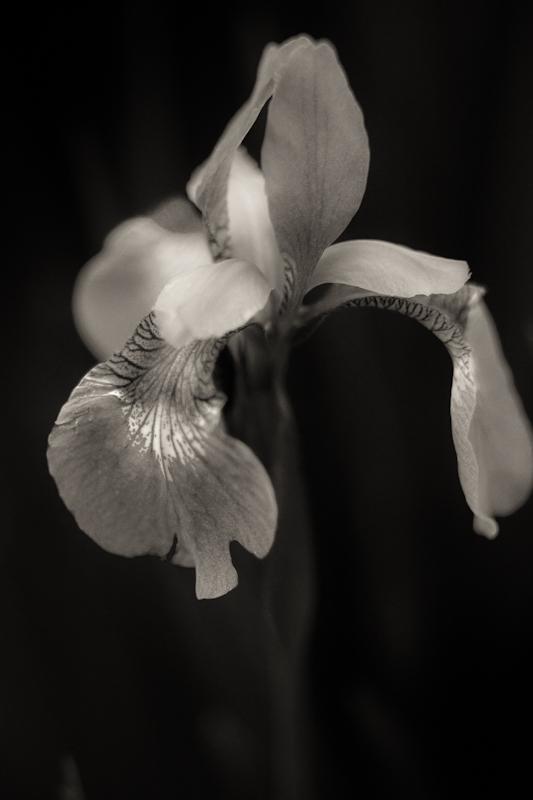 First Iris 2010, Monochrome