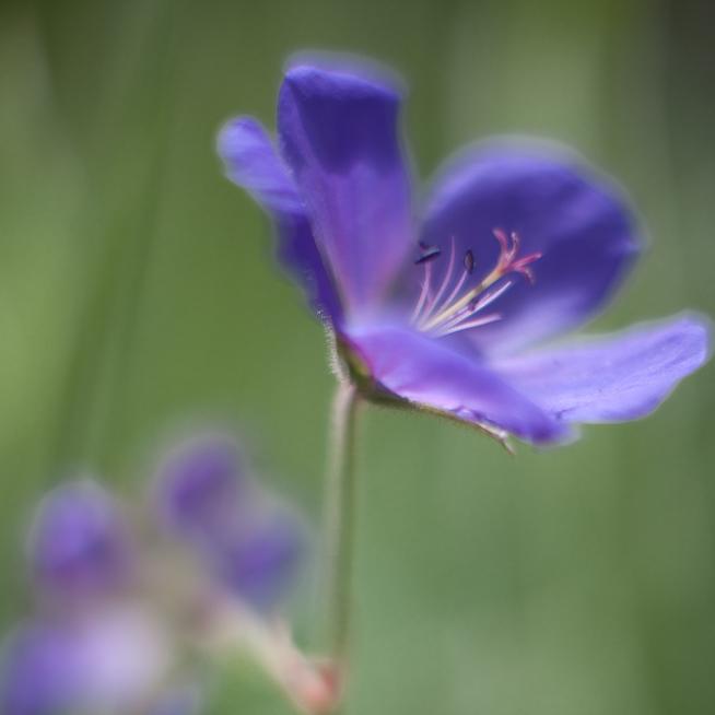 Unknown Blue Flower, Soft #1