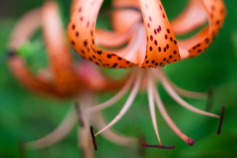 Tiger Lily Pair