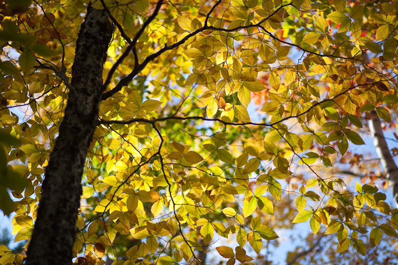 Backlit Yellow Leaves and Tree