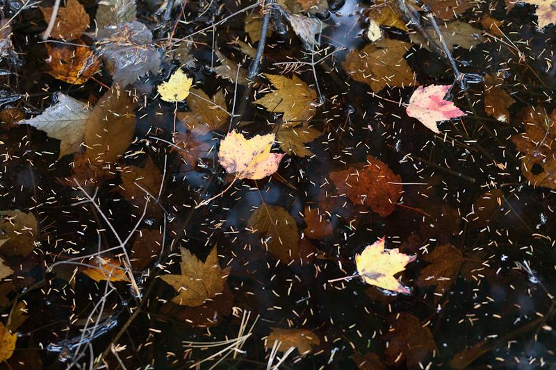 Fallen Leaves and Pine Needles in Dark Water