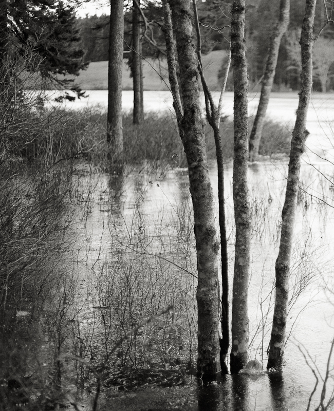Trees in Little Long Pond Overflowed and Frozen #1