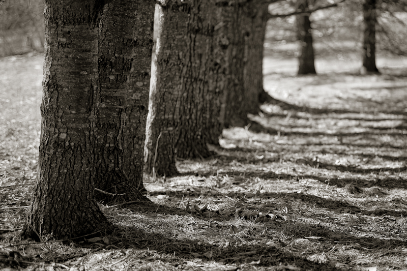 Line of Trees and Shadows #2