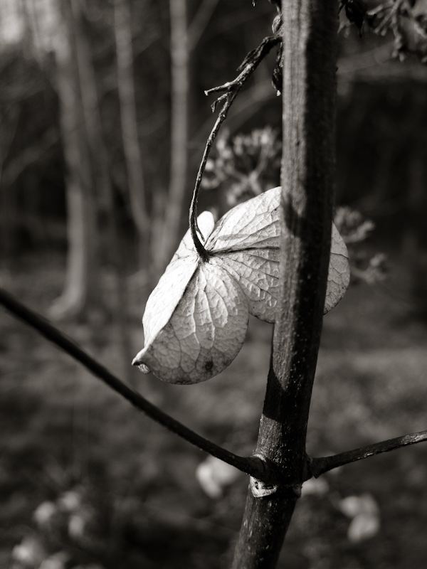 Last Years Hydrangea Bloom #2