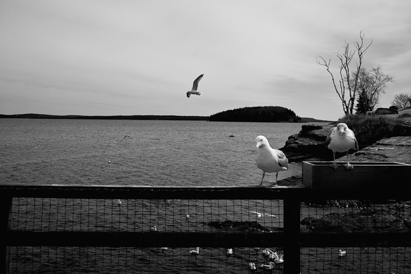Gulls at the Pier