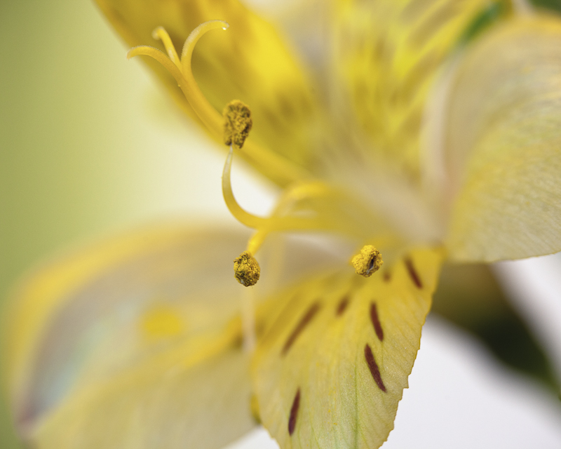 Alstromeria Close-up #1