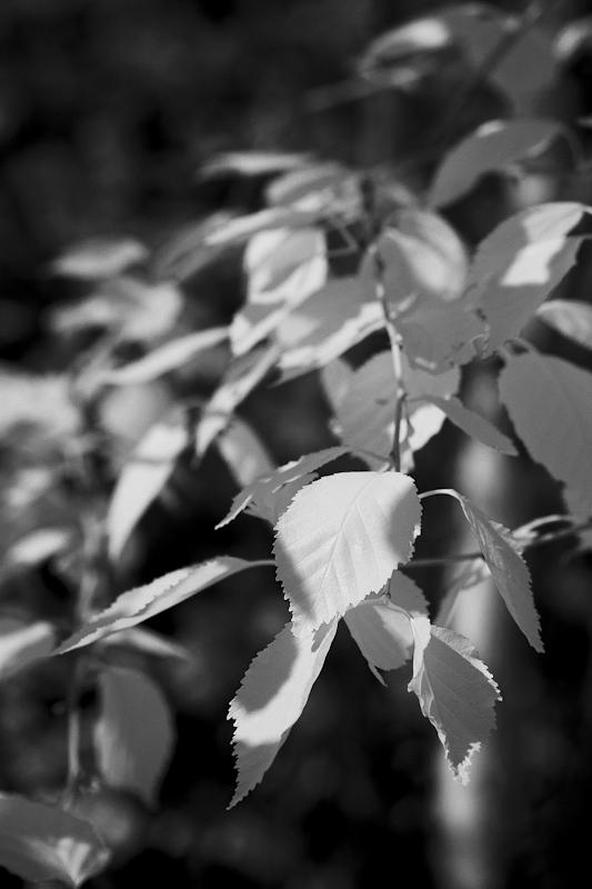 Aspen Leaves #1