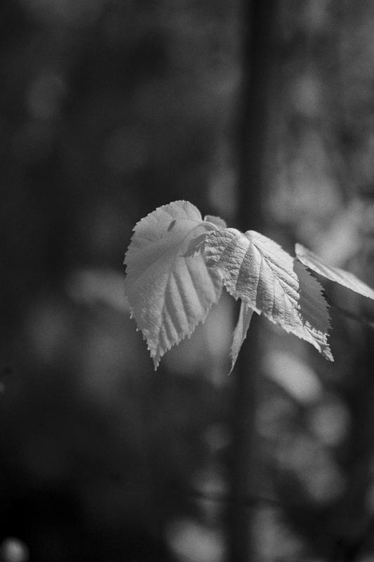 Aspen Leaves #4