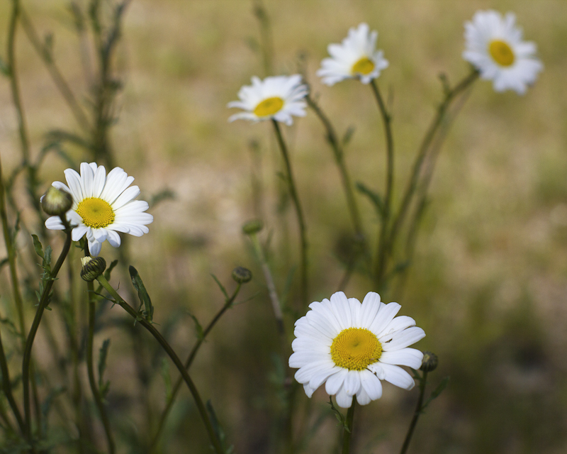 Daisy Bunch in Grass