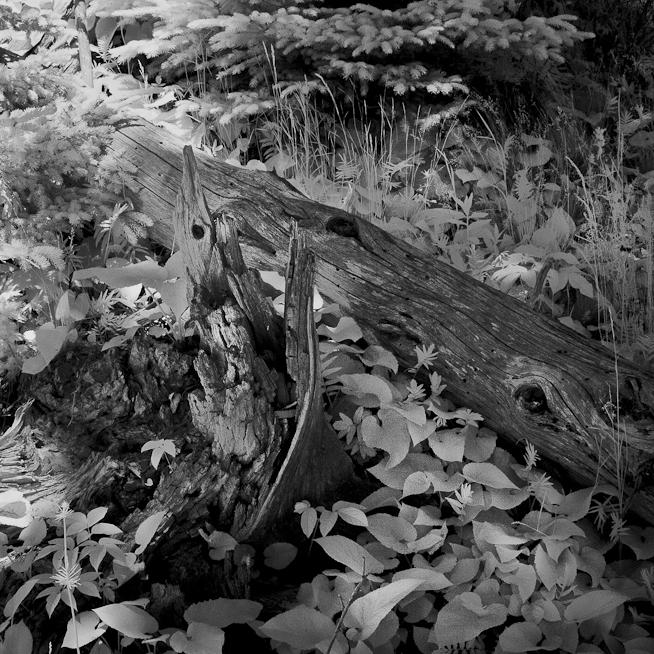 Fallen Tree and Stump