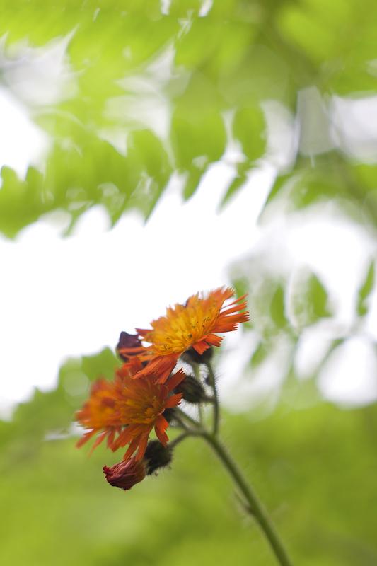 Orange Hawkweed with Tree and Sky #2