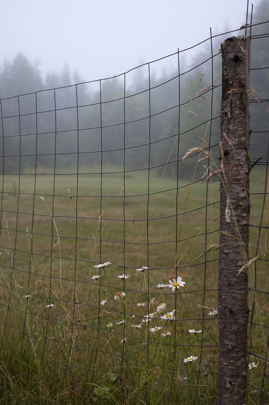 Foggy Morning Daisies